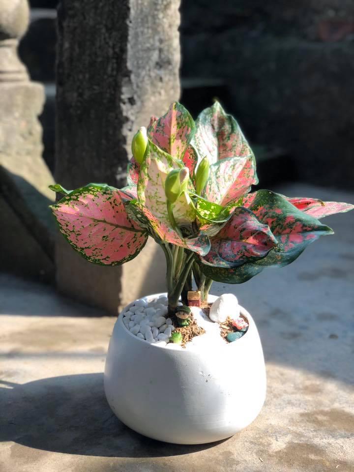 Cây vạn lộc - Loại cây phong thủy màu đỏ mang đến sự may mắn, thịnh vượng